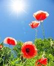 Free Poppy Royalty Free Stock Photo - 16481275