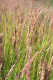 Free Feather Grass Royalty Free Stock Photos - 16480848