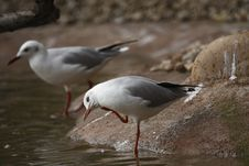 Free Black-headed Gull Stock Image - 16481201