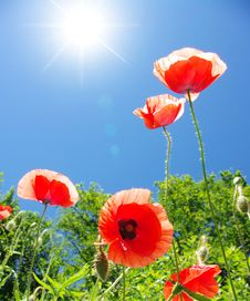 Free Poppy Royalty Free Stock Photo - 16481275