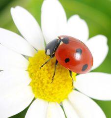 Free Ladybug Stock Image - 16481311