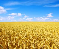 Free Golden Wheat Stock Image - 16481321