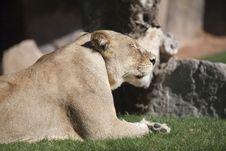 Free Lion Royalty Free Stock Photo - 16482715