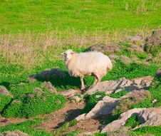 Free Ram On A Rock In The Middle Of Meadows Royalty Free Stock Images - 16482799