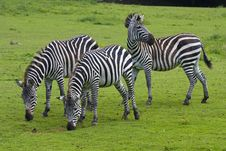 Free Three Zebras Stock Images - 16482824