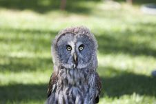 Free Owls Royalty Free Stock Photography - 16482997