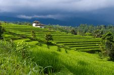 Free Luxuriant Rice Fields Stock Images - 16483784