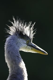 Free Grey Heron Portrait Stock Photos - 16483883
