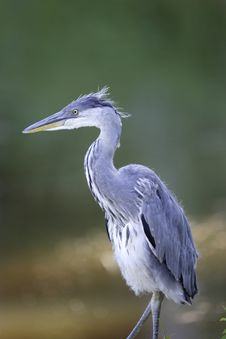 Free Grey Heron Portrait Royalty Free Stock Photo - 16483895