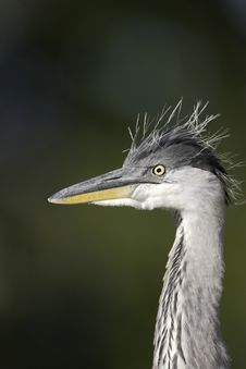 Free Grey Heron Closeup Stock Photography - 16483902