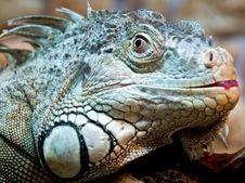 Free Iguana Stock Image - 16483911