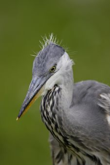 Free Grey Heron Closeup Stock Photos - 16483913
