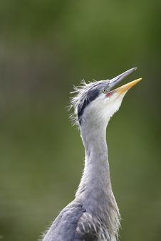 Free Grey Heron Yawn Stock Photo - 16483920