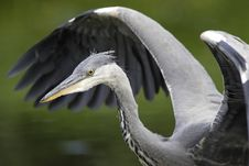 Free Grey Heron Wingstrech Stock Photography - 16483962