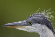 Free Grey Heron Portrait Stock Photos - 16483973