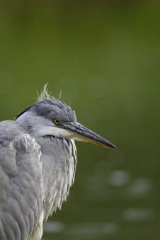 Free Grey Heron Portrait Stock Photo - 16483980
