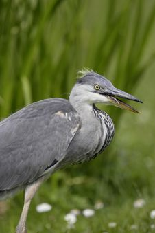Free Grey Heron Stock Photos - 16484013