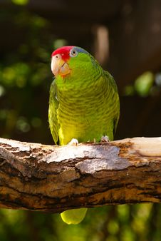 Free Green Parakeet Bird On Tree Branch Stock Photos - 16484733
