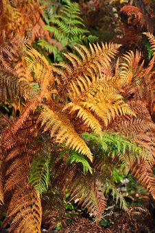 Free Golden And Green Ferns In Autumn In Forest Stock Images - 16485054