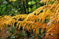 Free Golden Ferns With The Forest On Background. Royalty Free Stock Photography - 16485247