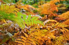 Free Golden And Green Ferns In Autumn In Forest Royalty Free Stock Photography - 16485277