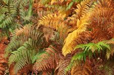 Free Golden And Green Ferns In Autumn In Forest Stock Photos - 16485423