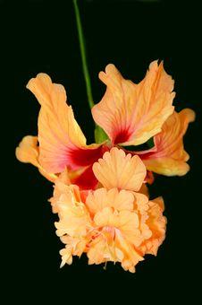 Free Hybrid Hybiscus Flower Royalty Free Stock Photos - 16486048