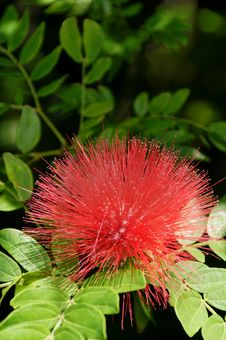 Free Red Acacia Royalty Free Stock Image - 16486076