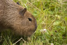 Capybara Eat Stock Photography