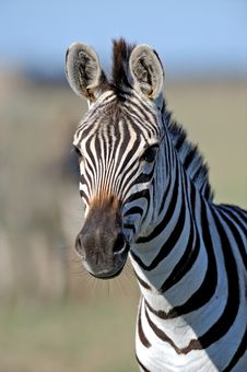 Free Zebra Stock Photography - 16486472
