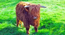 Free Highland Cattle Royalty Free Stock Image - 16488076