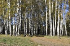 Free Autumn Birch Forest With Dirt Road Stock Image - 16488851