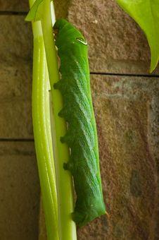 Free Green Caterpillar Royalty Free Stock Photo - 16489035