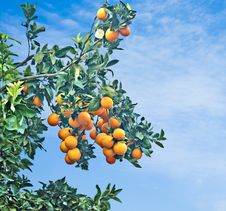 Free Branch With Ripe Oranges Stock Photography - 16489192