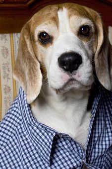 Beagle In A Skirt Royalty Free Stock Images