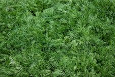 Free Heap Of Young Green Dill Stock Photo - 16489580