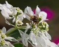 Free Hoverfly And Flower Royalty Free Stock Image - 16490656