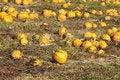 Free Pumpkin Patch Stock Image - 16490771