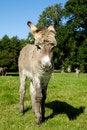 Free Young Donkey Royalty Free Stock Photo - 16495195