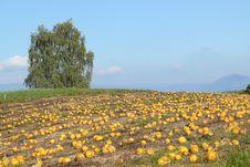 Free Pumpkin Patch Stock Photos - 16490423