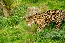 Free Jaguar Royalty Free Stock Images - 16490529