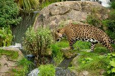Free Jaguar Stock Photography - 16490622