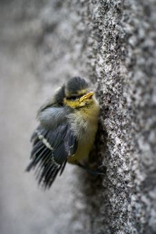 Free Tit Bird Holding The Wall Royalty Free Stock Photography - 16490667