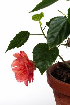 Free Hibiscus In Pot Isolated Stock Photography - 16490682