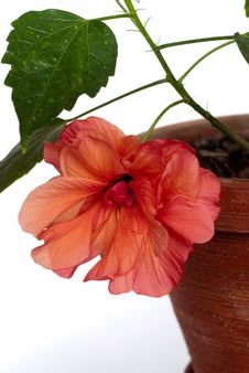 Free Open Hibiscus In Pot Isolated Stock Image - 16490711