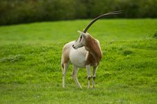 Free Scimitar-Horned Oryx Stock Image - 16490931
