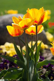 Free Yellow Red Tulips Stock Photo - 16490940