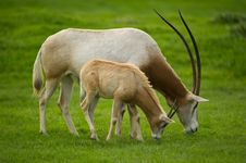 Free Scimitar-Horned Oryx Stock Photo - 16490970