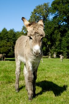 Free Young Donkey Royalty Free Stock Photo - 16495195