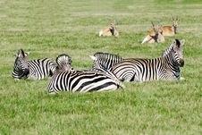 Free Group Of Zebras Stock Photo - 16495200